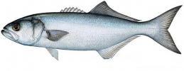 انواع اسماك البحر المتوسط وطرق